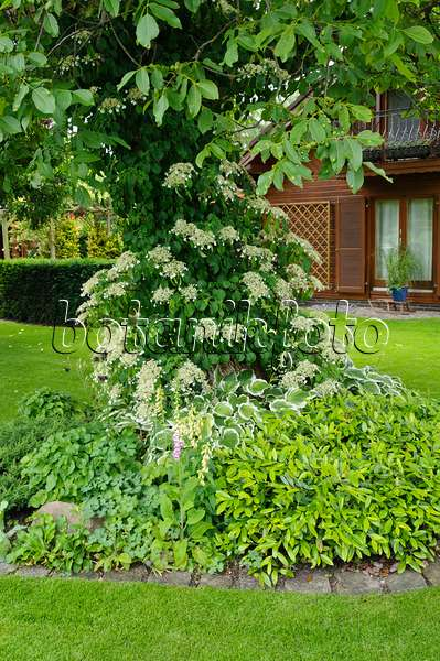 473062 - Climbing hydrangea (Hydrangea anomala subsp. petiolaris) and English walnut (Juglans regia)