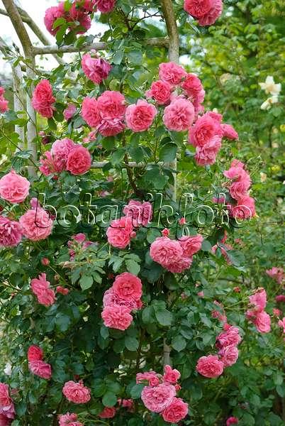 image climbing rose rosa rosarium uetersen 522010. Black Bedroom Furniture Sets. Home Design Ideas