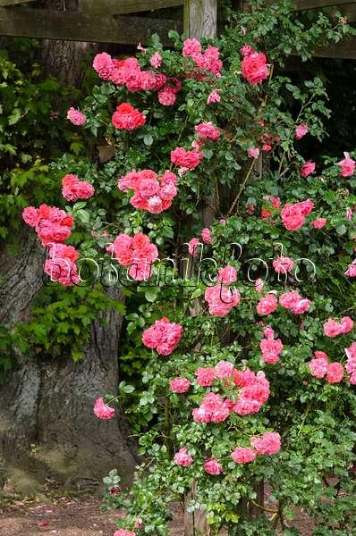 image climbing rose rosa rosarium uetersen 500207. Black Bedroom Furniture Sets. Home Design Ideas