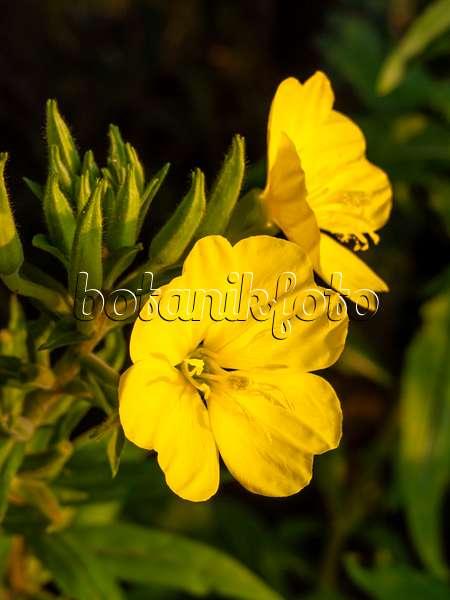 Images primroses images and videos of plants and gardens botanikfoto 462185 common evening primrose oenothera biennis mightylinksfo
