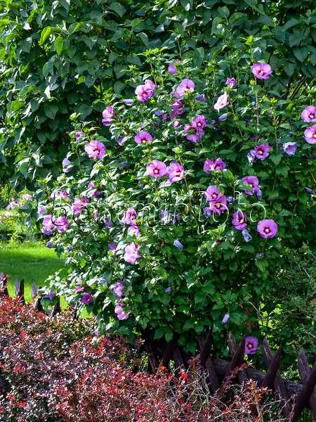image common hibiscus hibiscus syriacus 39 oiseau bleu. Black Bedroom Furniture Sets. Home Design Ideas