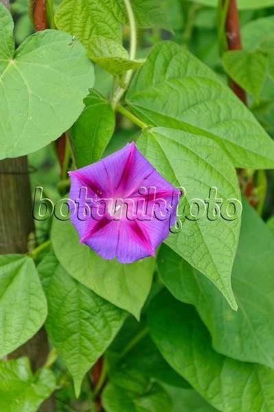 Image common morning glory ipomoea purpurea 462168 for Ipomea purpurea