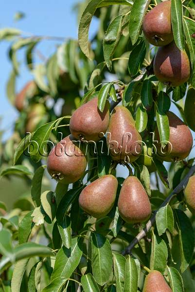 image common pear pyrus communis 39 gute luise von avranches 39 558200 images and videos of. Black Bedroom Furniture Sets. Home Design Ideas