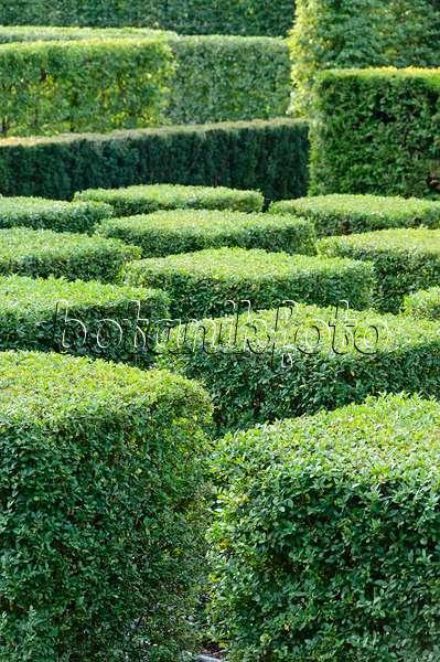 image delavay 39 s privet ligustrum delavayanum 502248 images and videos of plants and. Black Bedroom Furniture Sets. Home Design Ideas