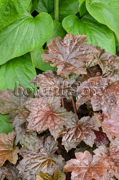 image crevice alumroot heuchera micrantha 39 peach flambe 39 536117 images and videos of. Black Bedroom Furniture Sets. Home Design Ideas