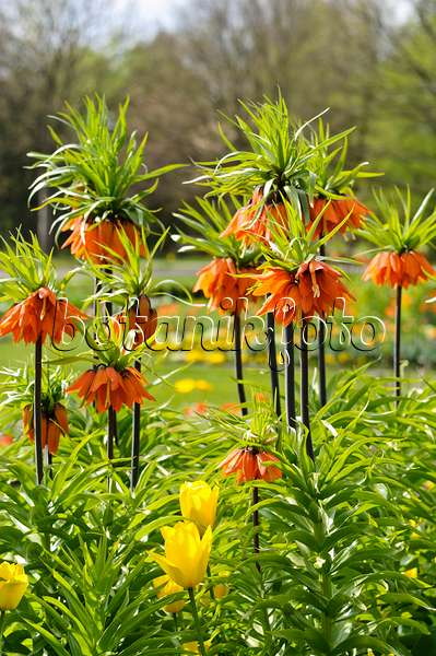 483221 - Crown imperial (Fritillaria imperialis)