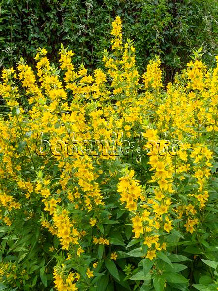 Images Lysimachia - Images and videos of plants and gardens