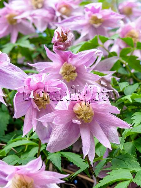 image clematis clematis pink fantasy and clematis ernest markham behind a seating area. Black Bedroom Furniture Sets. Home Design Ideas