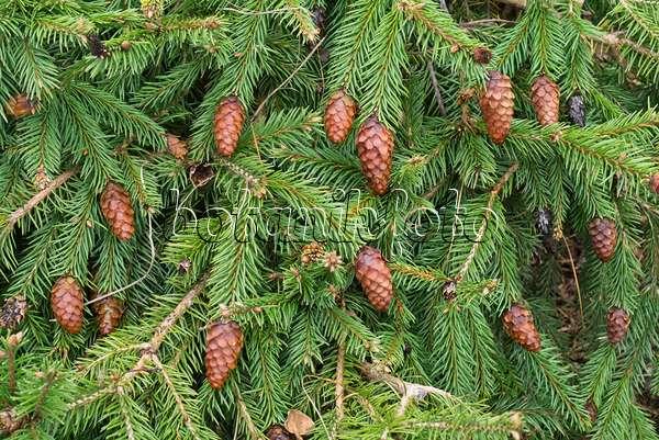 Image Dwarf Common Spruce Picea Abies Acrocona Push Syn Picea