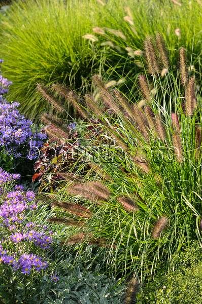Image dwarf fountain grass pennisetum alopecuroides for Dwarf grasses perennials