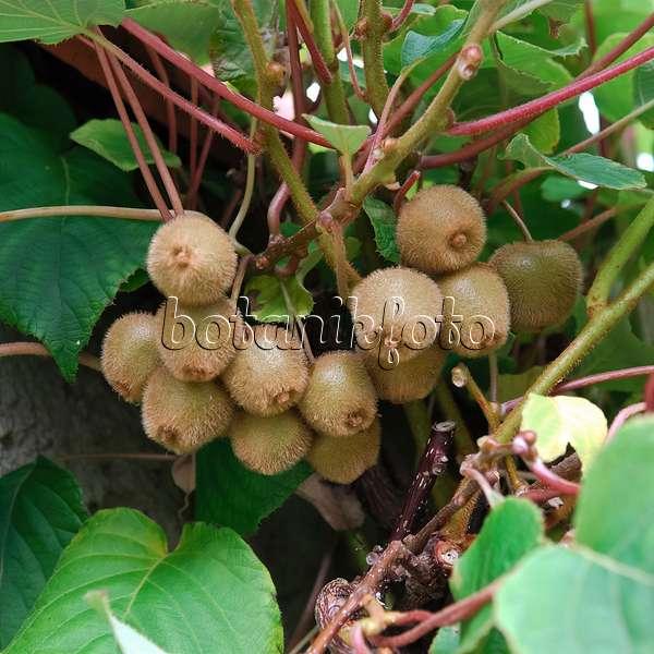 images fruit images and videos of plants and gardens. Black Bedroom Furniture Sets. Home Design Ideas
