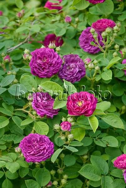 image gallica rose rosa charles de mills 490166. Black Bedroom Furniture Sets. Home Design Ideas