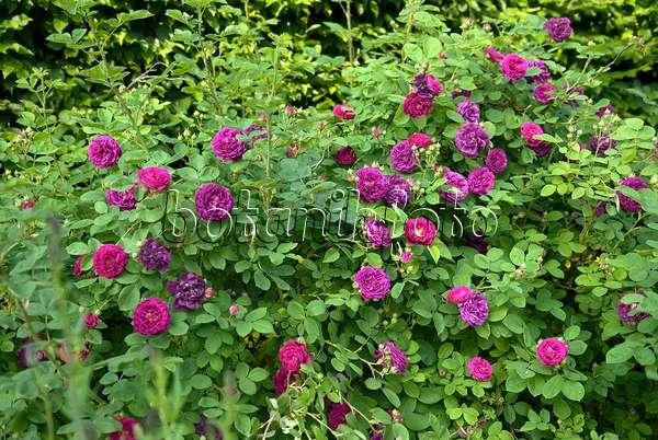 image gallica rose rosa charles de mills 490165. Black Bedroom Furniture Sets. Home Design Ideas