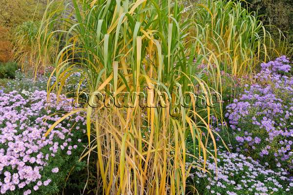 image giant silver grass miscanthus x giganteus 465282 images and videos of plants and. Black Bedroom Furniture Sets. Home Design Ideas