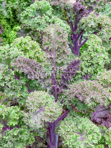 image green cabbage brassica oleracea var sabellica in. Black Bedroom Furniture Sets. Home Design Ideas