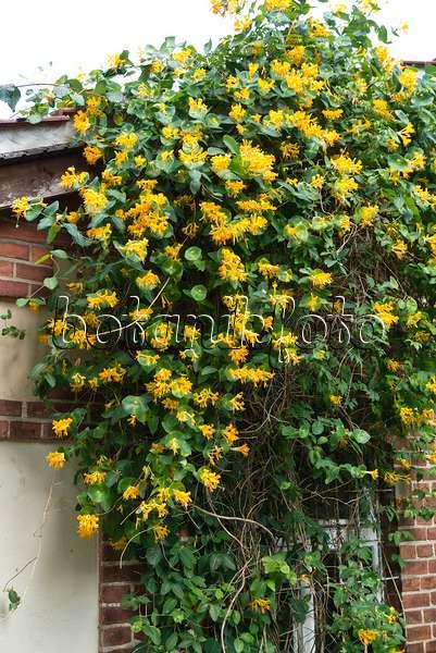 image honeysuckle lonicera x purpusii 528018 images. Black Bedroom Furniture Sets. Home Design Ideas
