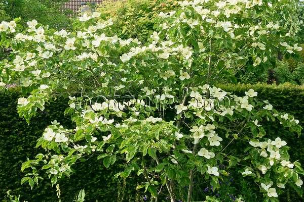 image japanese dogwood cornus kousa 39 venus 39 526091 images and videos of plants and gardens. Black Bedroom Furniture Sets. Home Design Ideas
