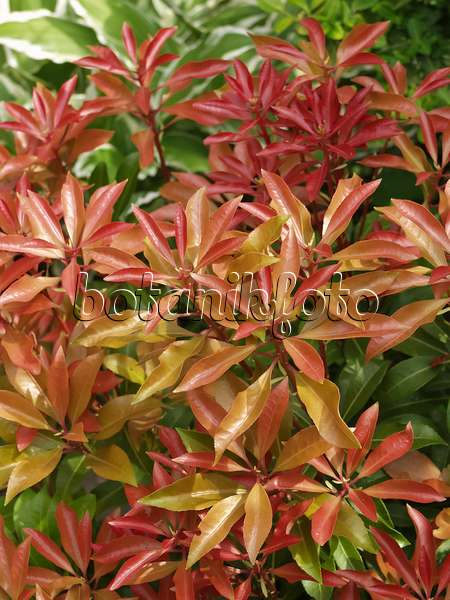 image japanese pieris pieris japonica 39 katsura 39 490108 images and videos of plants and. Black Bedroom Furniture Sets. Home Design Ideas