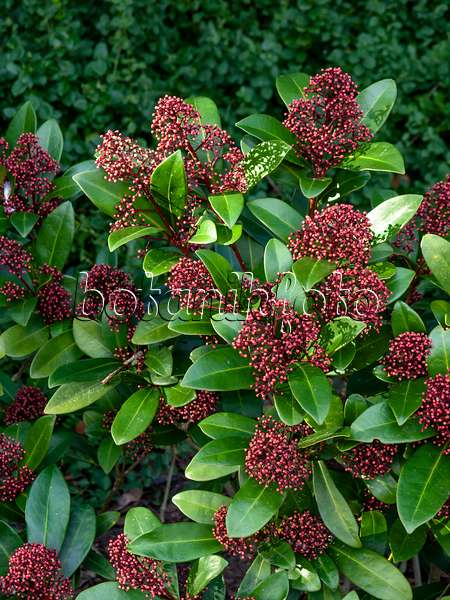 image japanese skimmia skimmia japonica 39 rubella 39 566076 images and videos of plants and. Black Bedroom Furniture Sets. Home Design Ideas