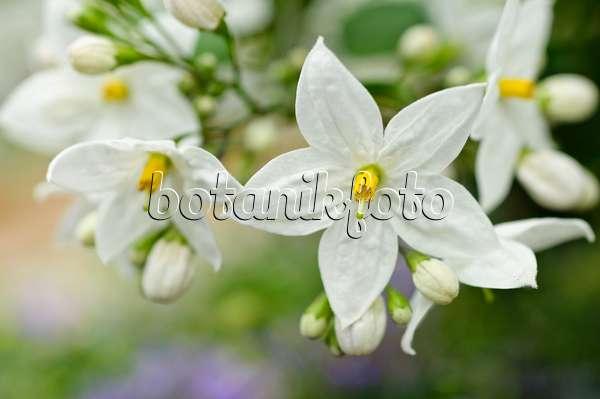 image jasmine nightshade solanum jasminoides 484105. Black Bedroom Furniture Sets. Home Design Ideas