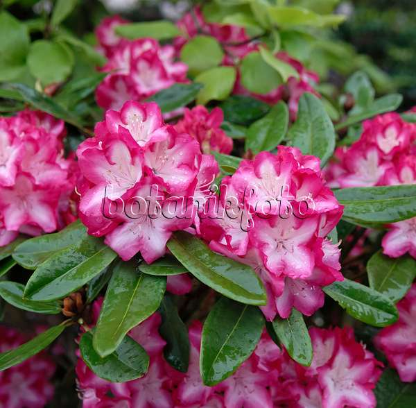 images rhododendrons 2 images and videos of plants and. Black Bedroom Furniture Sets. Home Design Ideas