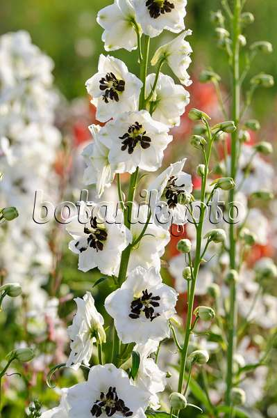 474498 - Larkspur (Delphinium x cultorum 'Magic Fountains White')