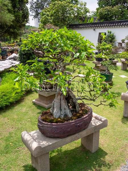 bonsai gardens. 411219 - Musk Maple (Premna Microphylla), Bonsai Garden, Singapore Gardens