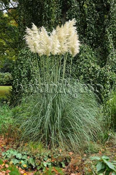 Image Pampas Grass Cortaderia Selloana 465267 Images