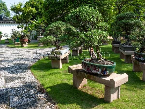 411200   Pemphis Acidula, Bonsai Garden, Singapore