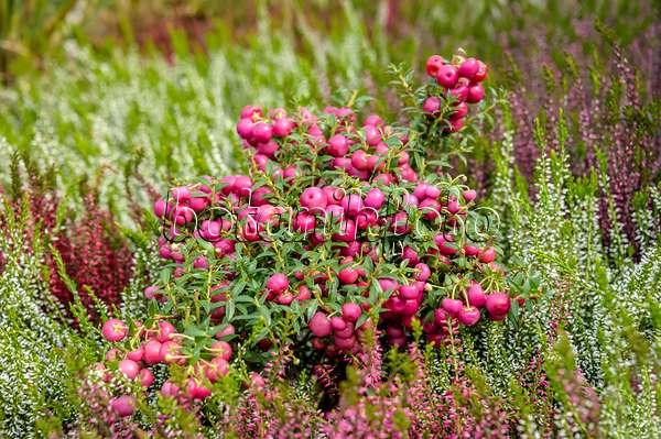 Gaultheria Pernettya.Image Pernettya Mucronata Purpurea Syn Gaultheria Mucronata 593083 Images And Videos Of Plants And Gardens Botanikfoto