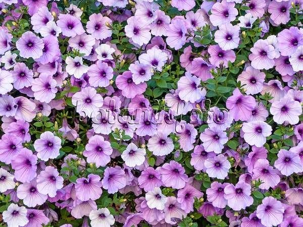 Image petunia petunia potunia cappuccino 484090 for Surfinia balcone