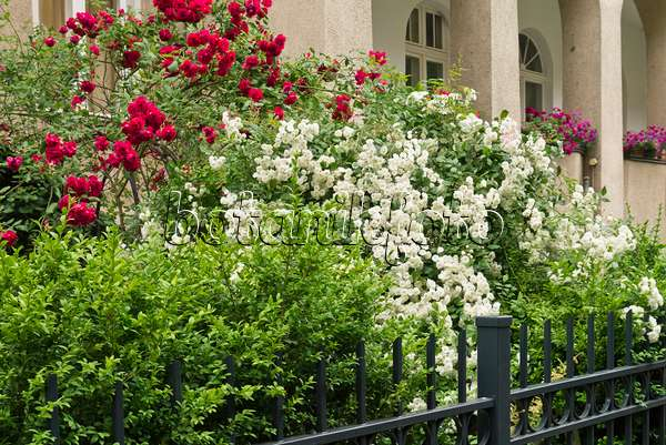 Image Friesian House With Climbing Roses 465051 Images