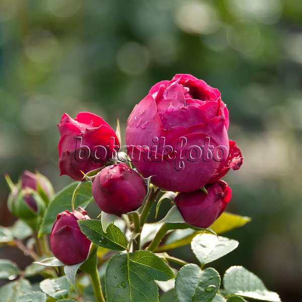 images roses 12 images and videos of plants and gardens. Black Bedroom Furniture Sets. Home Design Ideas