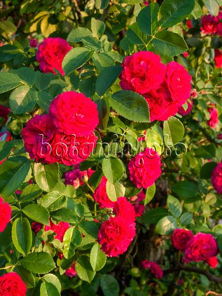 images roses 4 images and videos of plants and gardens botanikfoto. Black Bedroom Furniture Sets. Home Design Ideas