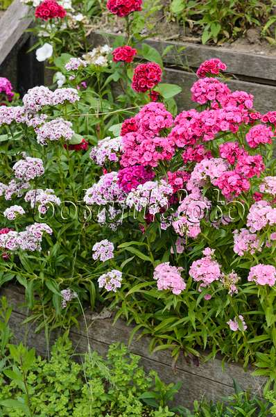 521338 sweet william dianthus barbatus - Pictures Of Rose Gardens
