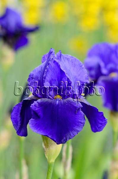image tall bearded iris iris barbata elatior 39 louvois. Black Bedroom Furniture Sets. Home Design Ideas