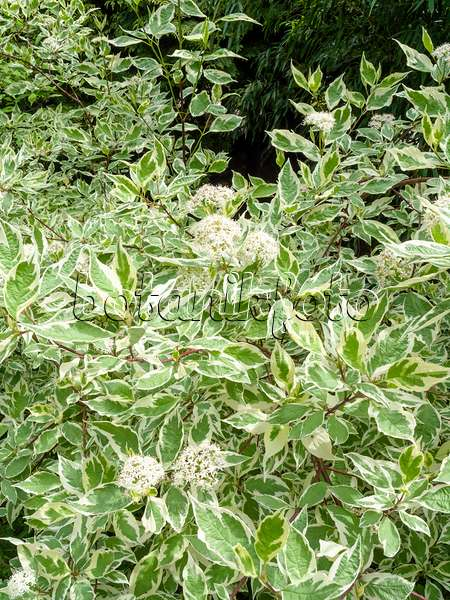 Images dogwoods images and videos of plants and gardens for Cornus alba