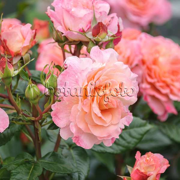 images roses 3 images and videos of plants and gardens. Black Bedroom Furniture Sets. Home Design Ideas