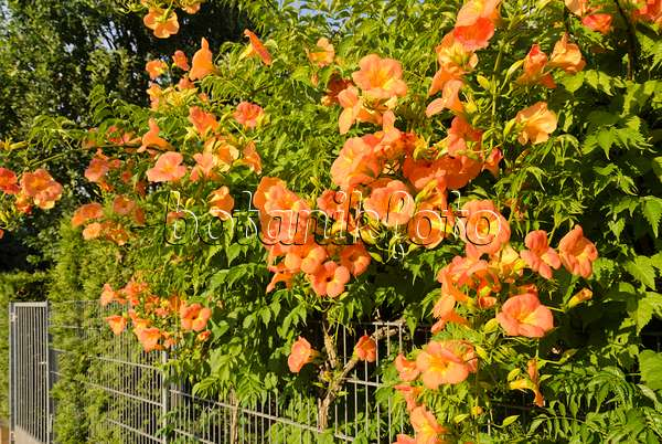 image trumpet creeper campsis radicans 522108 images and videos of plants and gardens. Black Bedroom Furniture Sets. Home Design Ideas
