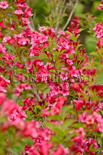 image weigela florida 39 purpurea 39 472229 images and videos of plants and gardens botanikfoto. Black Bedroom Furniture Sets. Home Design Ideas