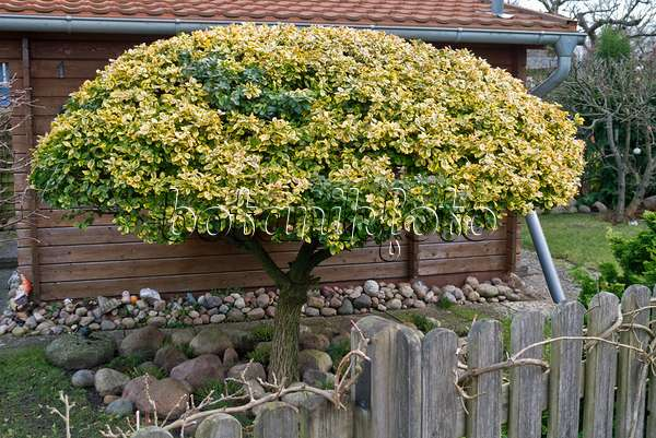 Images Euonymus Images and videos of plants and gardens