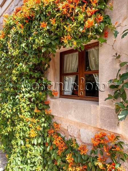 trumpet vine plant. 424014 - Orange trumpet vine