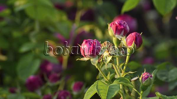 video bourbon rose rosa louise odier 509118 images and videos of plants and gardens. Black Bedroom Furniture Sets. Home Design Ideas