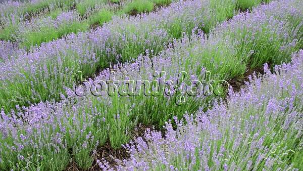video echter lavendel lavandula angustifolia 497278. Black Bedroom Furniture Sets. Home Design Ideas
