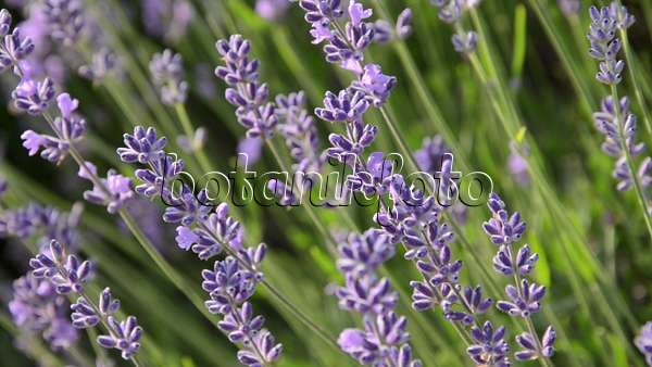 video echter lavendel lavandula angustifolia 497310. Black Bedroom Furniture Sets. Home Design Ideas