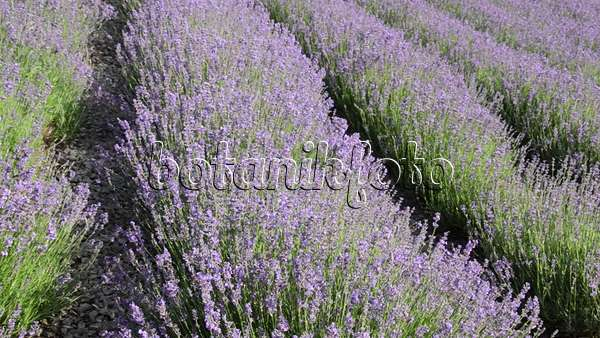 video echter lavendel lavandula angustifolia und. Black Bedroom Furniture Sets. Home Design Ideas