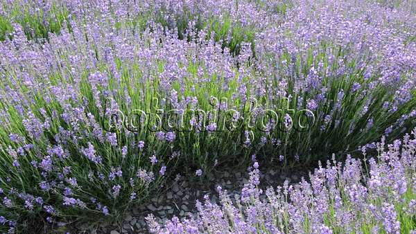 video echter lavendel lavandula angustifolia 497340 bilder und videos von pflanzen und. Black Bedroom Furniture Sets. Home Design Ideas