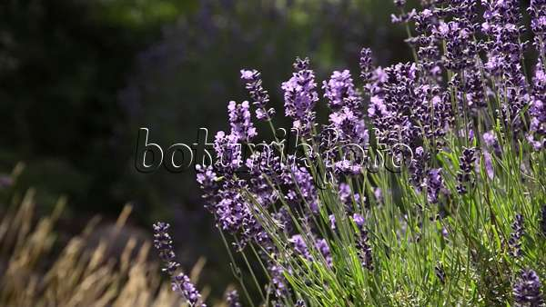 video echter lavendel lavandula angustifolia 498024 bilder und videos von pflanzen und. Black Bedroom Furniture Sets. Home Design Ideas
