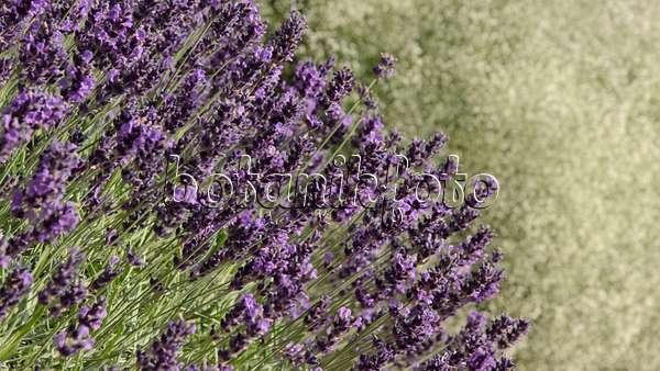 video echter lavendel lavandula angustifolia 39 hidcote. Black Bedroom Furniture Sets. Home Design Ideas