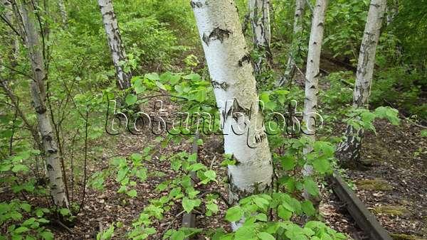 Video European white birch (Betula pendula) between tracks on an ...